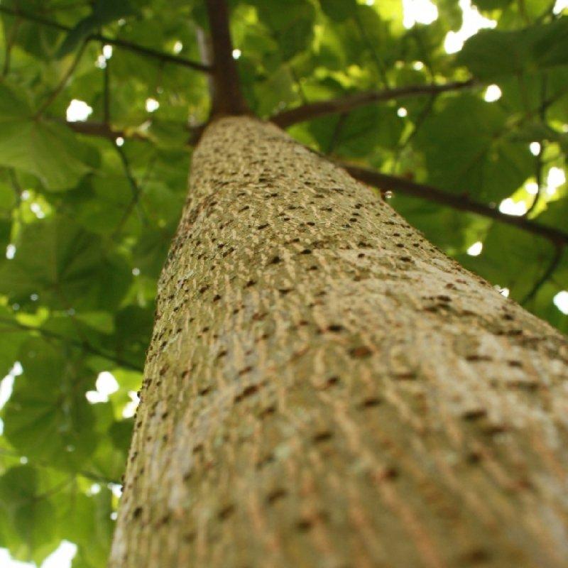 500 Paulownia Elongata Beautiful Paulownia Tree Seeds