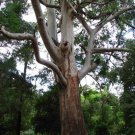 200+ Eucalyptus Saligna ( Sydney Blue Gum ) seeds. FREE S&H