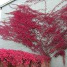 100+ Parthenocissus Quinquefolia ( Virginia Creeper ) seeds