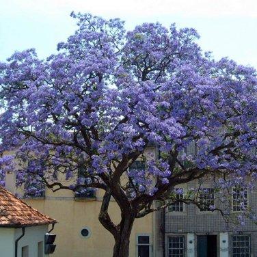 200+ Paulownia Tomentosa ( Princess Tree ) seeds. FREE S&H