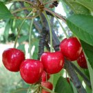 5+ Prunus Avium ( Sweet Cherry ) seeds