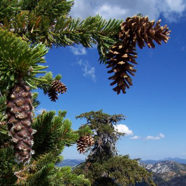 15+ Picea Likiangensis ( Lijiang Spruce ) seeds