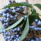 25+ Sambucus Caerulea ( Blue Elderberry ) seeds