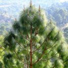 10+ Pinus Roxburghii ( Chir pine ) seeds