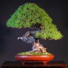 10+ Pinus Densiflora ( Japanese Red Pine ) seeds