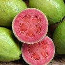 30+ Psidium Guajava ( Guava ) seeds
