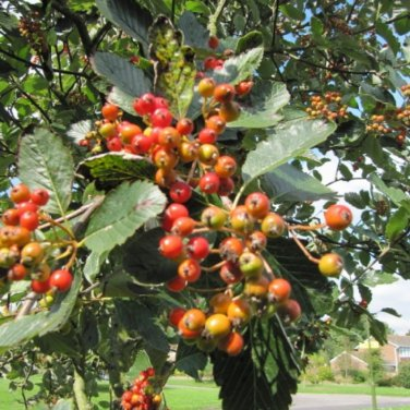 4 Sorbus Aria ( Whitebeam Mountain Ash ) seeds
