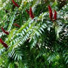 30+ Rhus Typhina ( Staghorn Sumac ) seeds