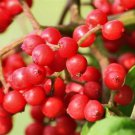 30+ Sambucus Pubens ( Red Elderberry ) seeds