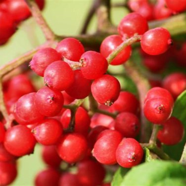 30+ Sambucus Pubens ( Red Elderberry ) seeds