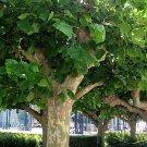 50+ Platanus Acerifolia ( London Plane, Hybrid Plane Tree ) seeds