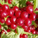 10+ Prunus Tomentosa ( Nanking Cherry ) seeds