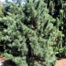 5+ Pinus Koraiensis ( Korean Nut Pine Cedar ) seeds