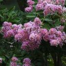 20+ Syringa Vulgaris ( Lilac ) seeds