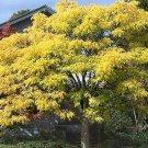10+ Phellodendron Amurense ( Amur Cork Tree ) seeds