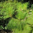 10+ Pinus Yunnanensis ( Yunnan Pine ) seeds