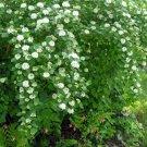 100+ Physocarpus Opulifolius ( Atlanta Ninebark ) seeds