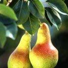 10+ Pyrus Communis Bartlett ( Bartlet Pear ) seeds