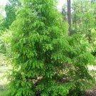 20+ Tsuga Chinensis ( Chinese Hemlock ) seeds