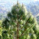 5+ Pinus Roxburghii ( Chir pine ) seeds
