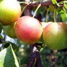 8+ Prunus Cerasifera / Myrobalan ( Cherry Plum ) seeds