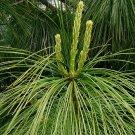 5+ Pinus Wallichiana ( Himalayan Blue Pine ) seeds