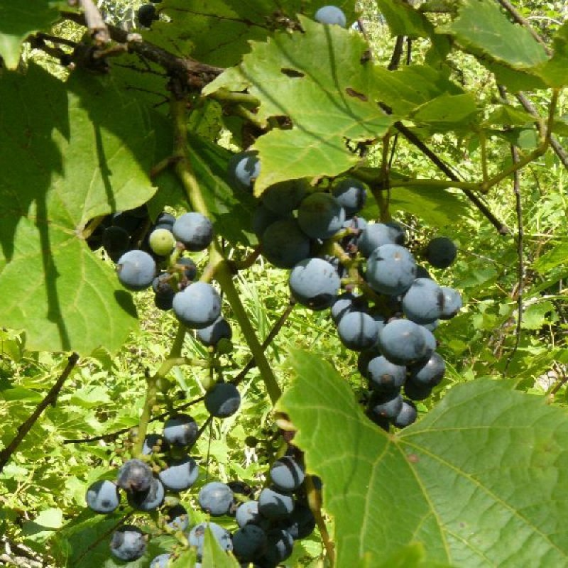 20 vitis riparia riverbank grape seeds for Table grapes zone 6