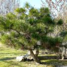 10+ Pinus Tabuliformis ( Chinese Red Pine ) seeds