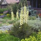 25+ Yucca Glauca ( Soap weed ) seeds