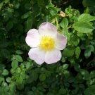 50+ Rosa Canina ( Dog Rose ) seeds