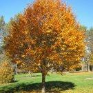 30+ Sorbus Alnifolia ( Korean Mountain Ash ) seeds