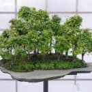 20+ Zelkova Serrata ( Japanese Zelkova ) seeds