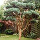 25+ Pinus Sylvestris ( Scots Pine Austrian ) seeds