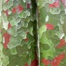 10+ Pinus Bungeana ( Lacebark Pine ) seeds