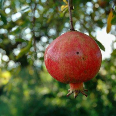 25+ Punica Granatum Bedana ( Pomegranate ) seeds