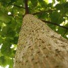 50+ Paulownia Elongata ( Beautiful Paulownia Tree ) seeds