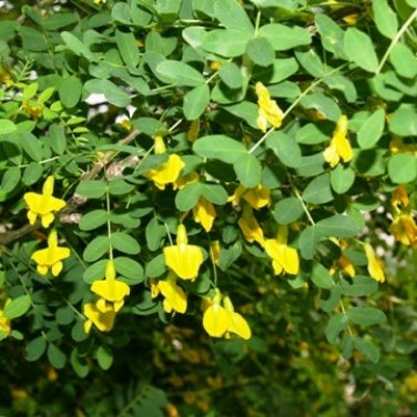 30+ Caragana Arborescens ( Siberian Pea Tree ) seeds