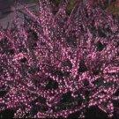 100+ Calluna Vulgaris ( Scot's Heather ) seeds