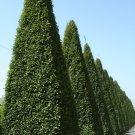 10+ Carpinus Betulus ( European Hornbeam ) seeds