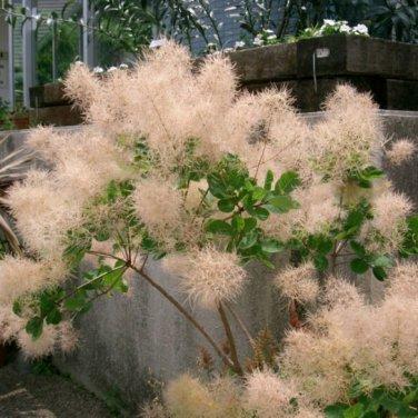 10+ Cotinus Coggygria ( European Smokebush ) seeds