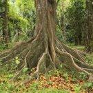 30+ Ceiba Pentandra ( Silk Cotton Tree ) seeds