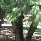 10+ Casuarina Cunninghamiana ( River She-Oak ) seeds