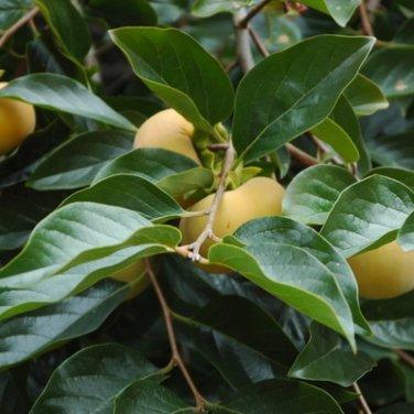 5 Diospyros Virginiana ( Persimmon ) seeds