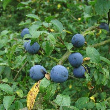 30+ Prunus Spinosa ( Blackthorn / Sloe ) seeds