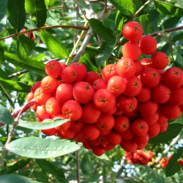 50+ Sorbus Aucuparia ( European Mountain Ash ) seeds