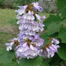 50+ Paulownia Fortunei ( Fortune Tree ) seeds