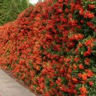 100+ Pyracantha Coccinea ( Scarlet Firethorn ) seeds