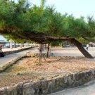 30+ Pinus Thunbergii ( Japanese Black Pine ) seeds