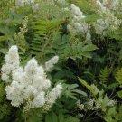 100+ Sorbaria Sorbifolia ( Ural Falsespirea ) seeds