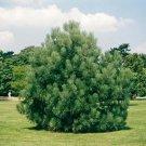 10+ Pinus Coulteri ( Big Cone Pine ) seeds